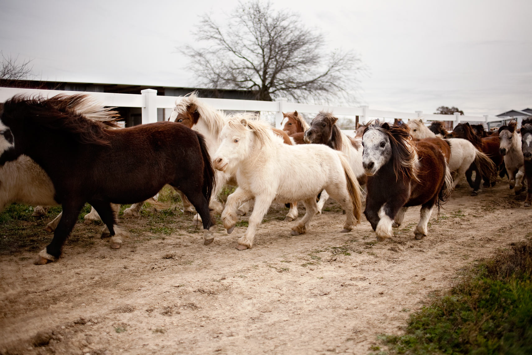 miniature horses galloping for washington dc editorial photography