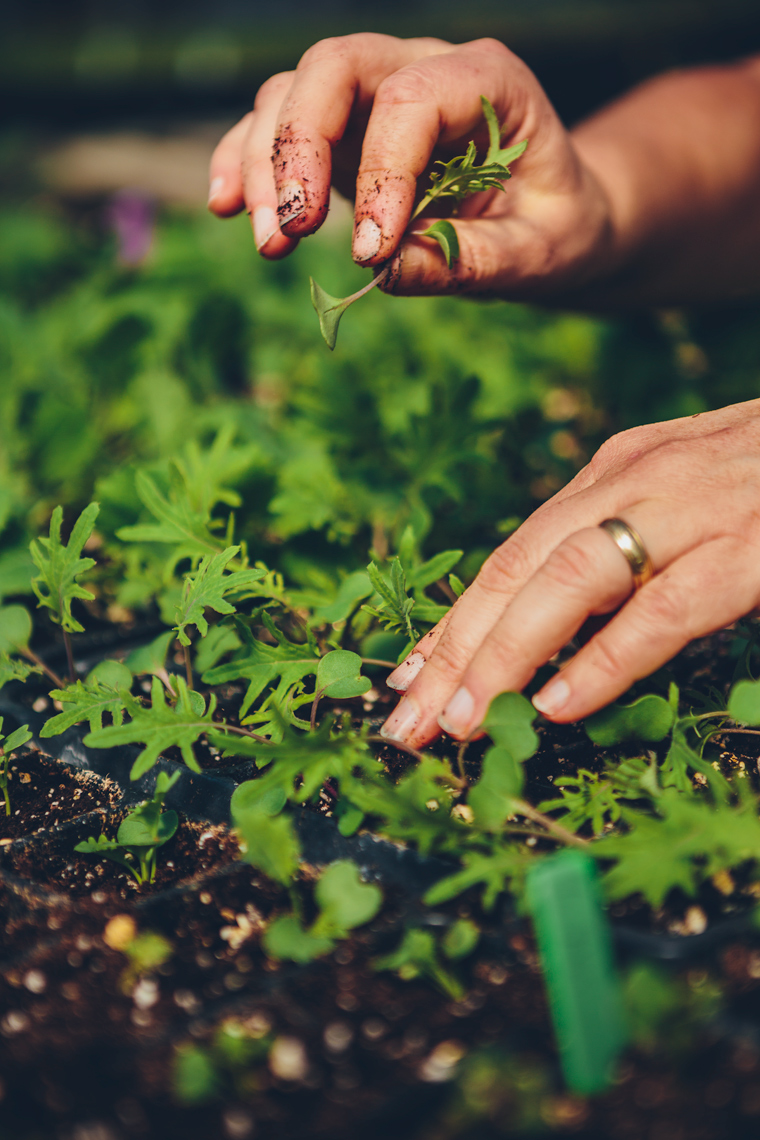 hands pick organic greens for washington dc industrial photography
