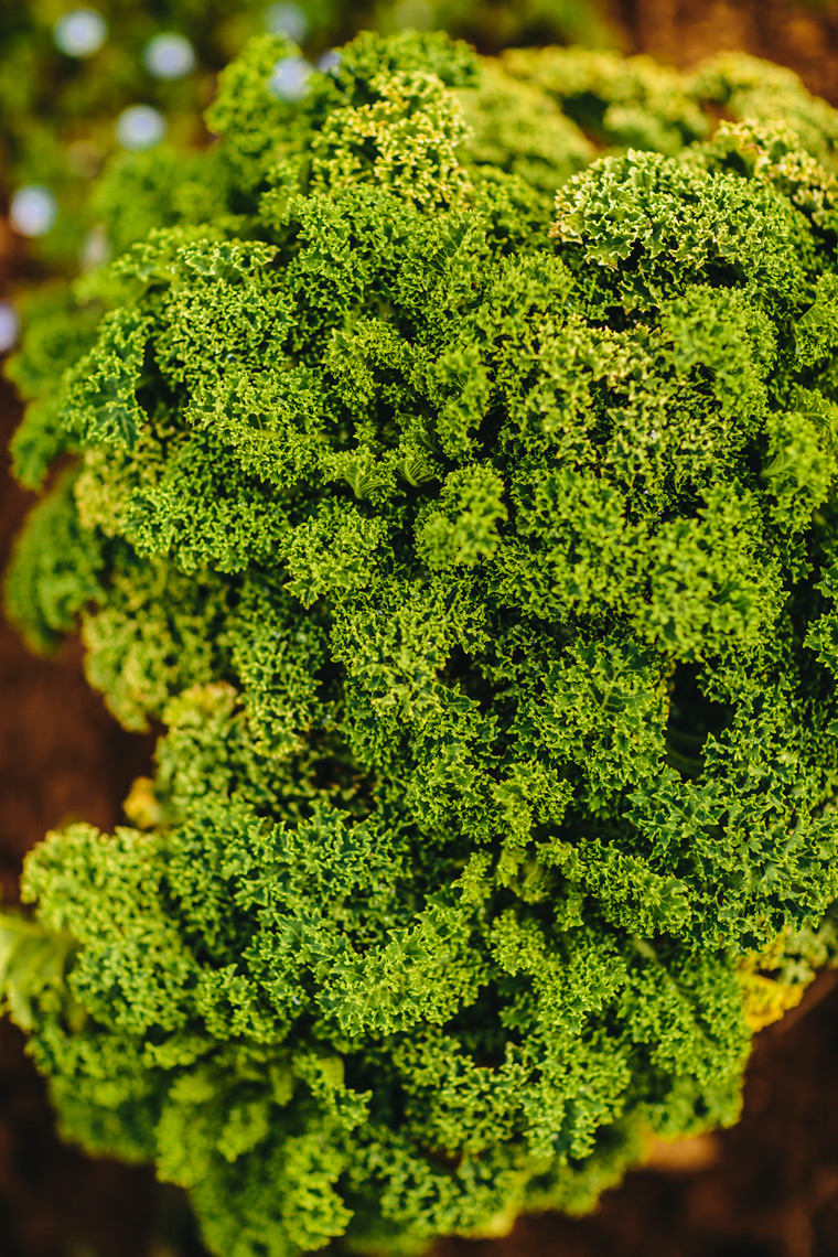 organic kale growing on farm for washington dc industrial photography