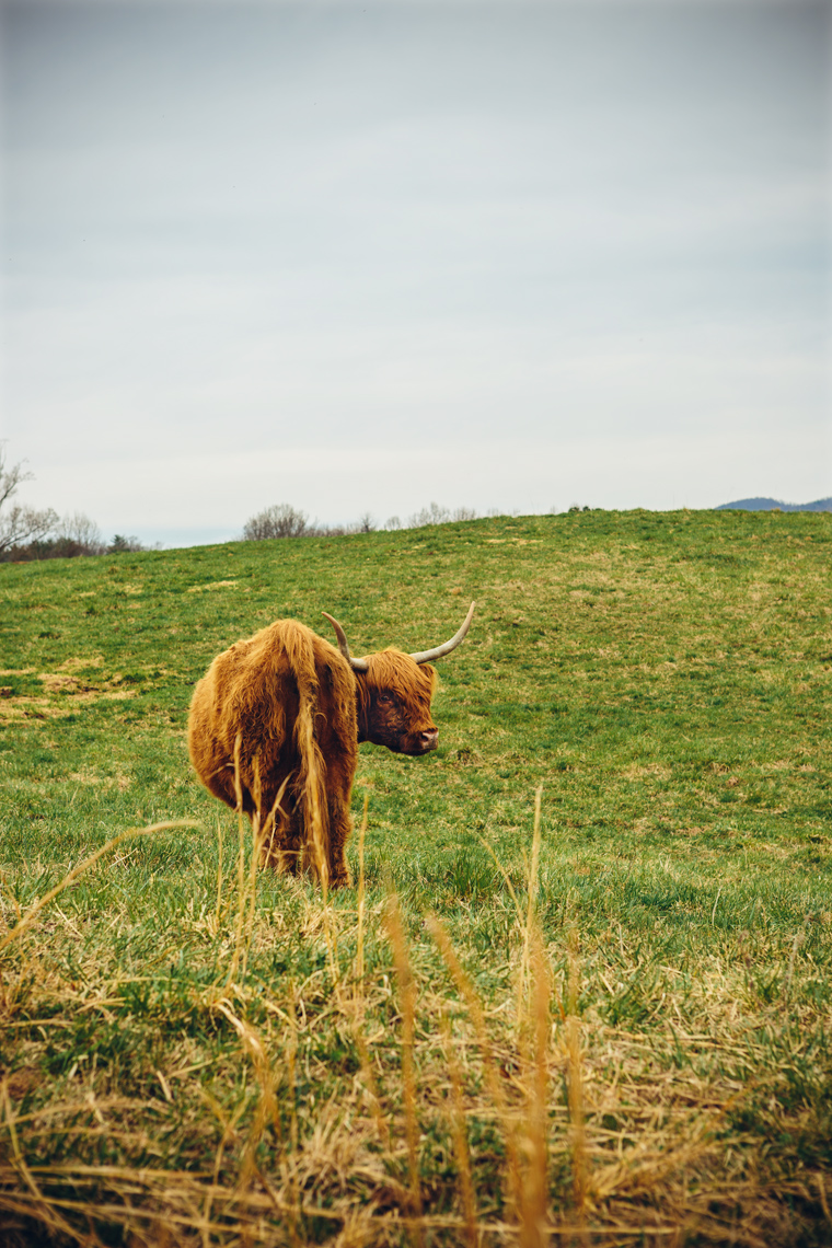 highland cattle standing in field for washington dc industrial photography